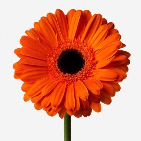 Оранжевые герберы поштучно