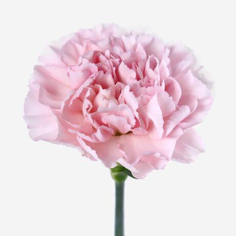 Розовые гвоздики поштучно