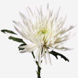Одноголовые хризантемы поштучно